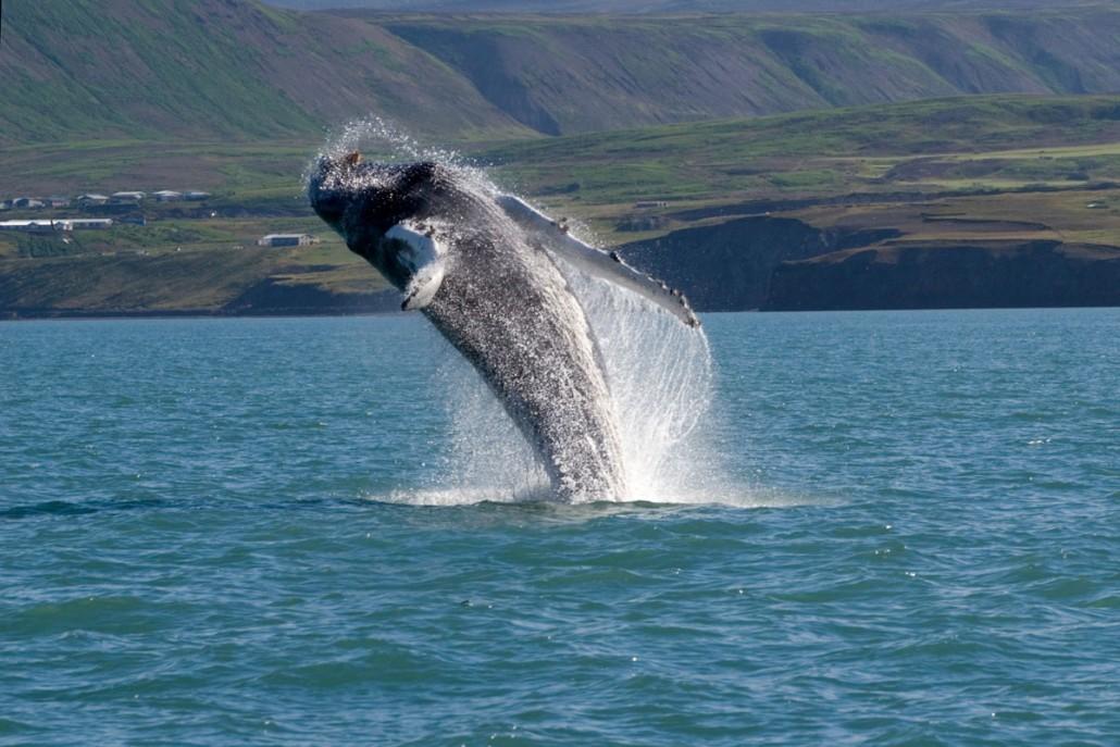 Kombiner firmarejsen med en hvalsafari